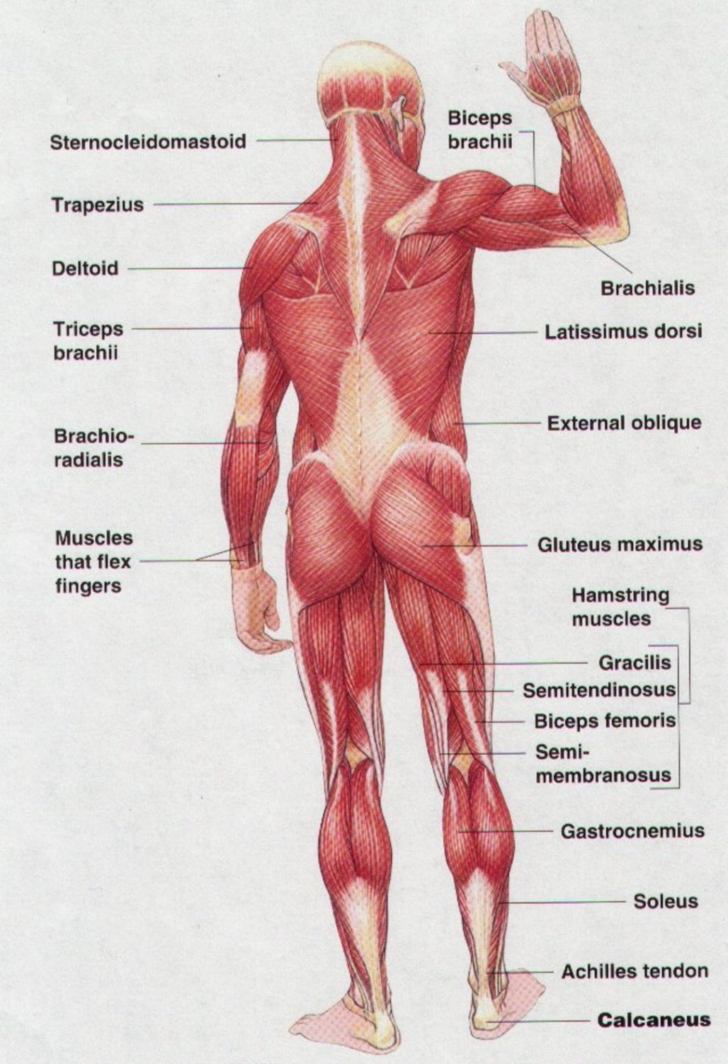 Lower Back Muscles Diagram
